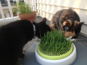 When The Cat Grass Is Greener Swanky Kitty